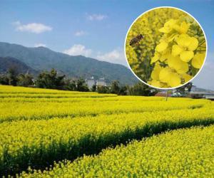 乐至县土特产:传统古法压榨菜籽油
