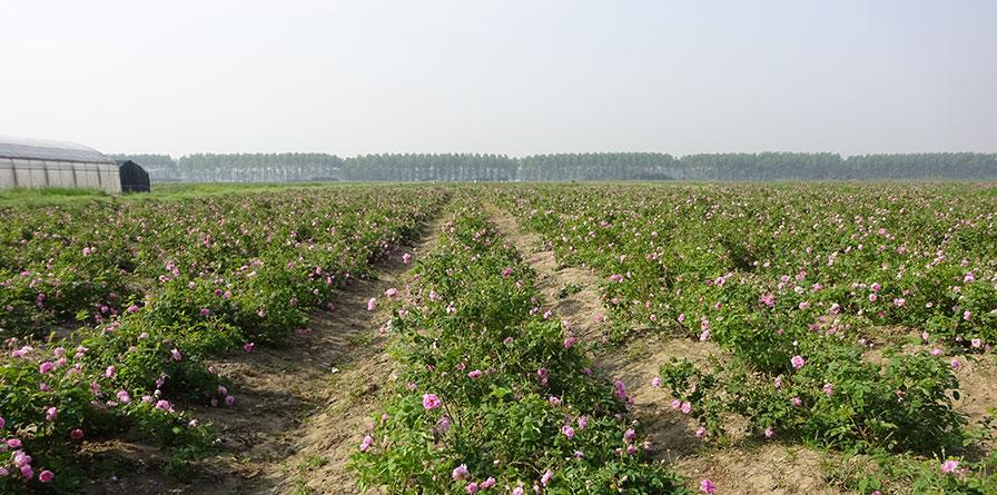 江苏省东台市大马士革玫瑰基地
